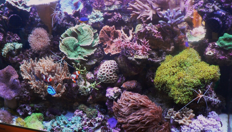 Le bac des Maniacodesrécifs (méthode Reefcorner) P1040119