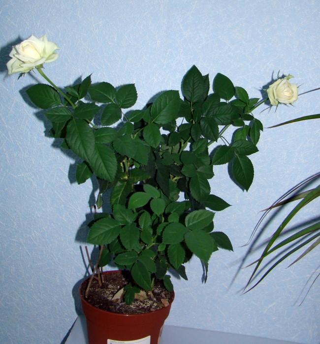 Комнатная роза Dsc01710