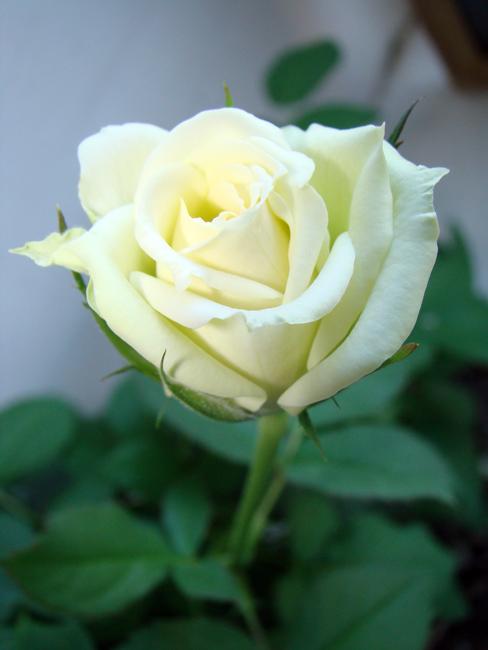 Комнатная роза Dsc01711