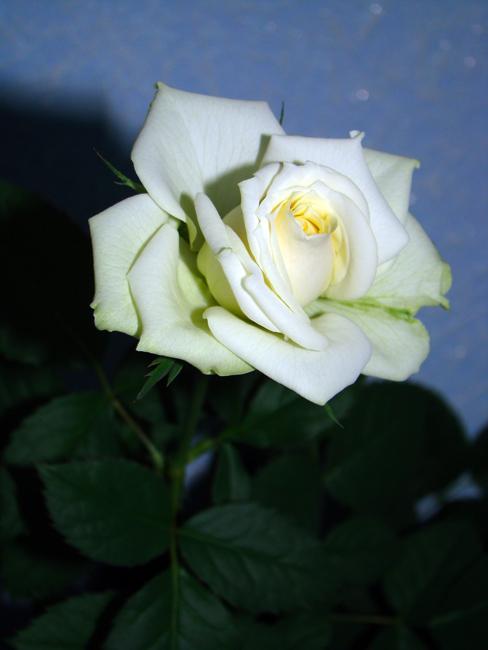 Комнатная роза Dsc01712