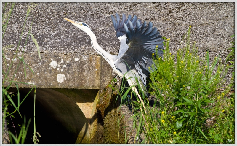 Héron cendré-Ardea cinerea - Grey Heron Img_0219