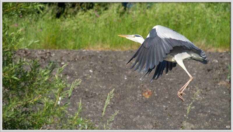 Héron cendré-Ardea cinerea - Grey Heron Img_0220