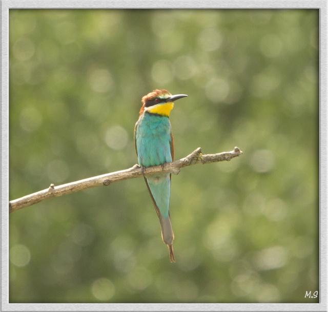 Guêpier d'Europe-Merops apiaster - European Bee-eater Img_2053