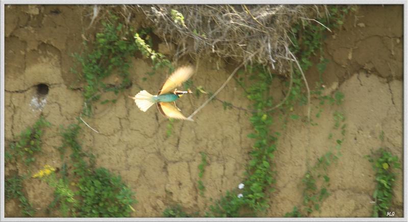 Guêpier d'Europe-Merops apiaster - European Bee-eater Img_2054