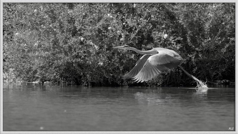 Héron cendré-Ardea cinerea - Grey Heron Img_6211