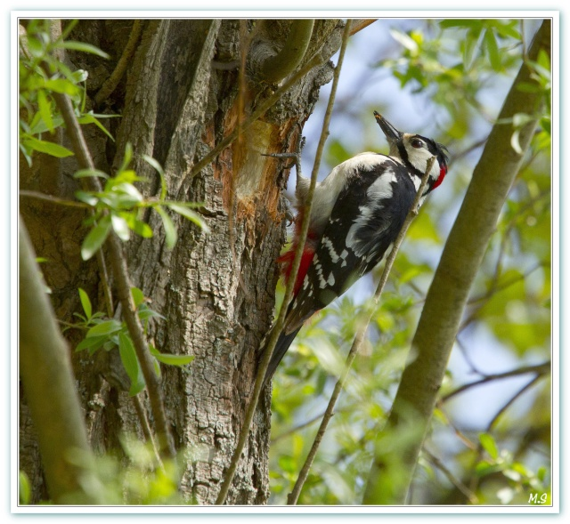 Pic épeiche-Dendrocopos major - Great Spotted Woodpecker Pic_ep10