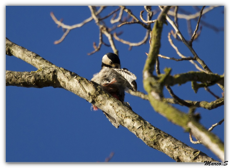 Pic épeiche-Dendrocopos major - Great Spotted Woodpecker Pique_10