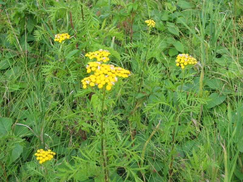 Tanaisie vulgaire (Tanacetum vulgare)