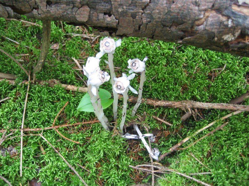 Monotrope uniflore (Monotropa uniflora)