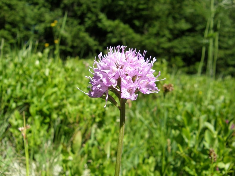 Traunsteinera globosa  ( Orchis globuleux ) Orchis11