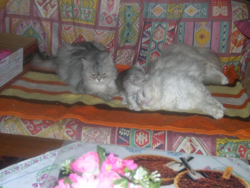Χαρίζονται γάτες Περσίας Gatooi10
