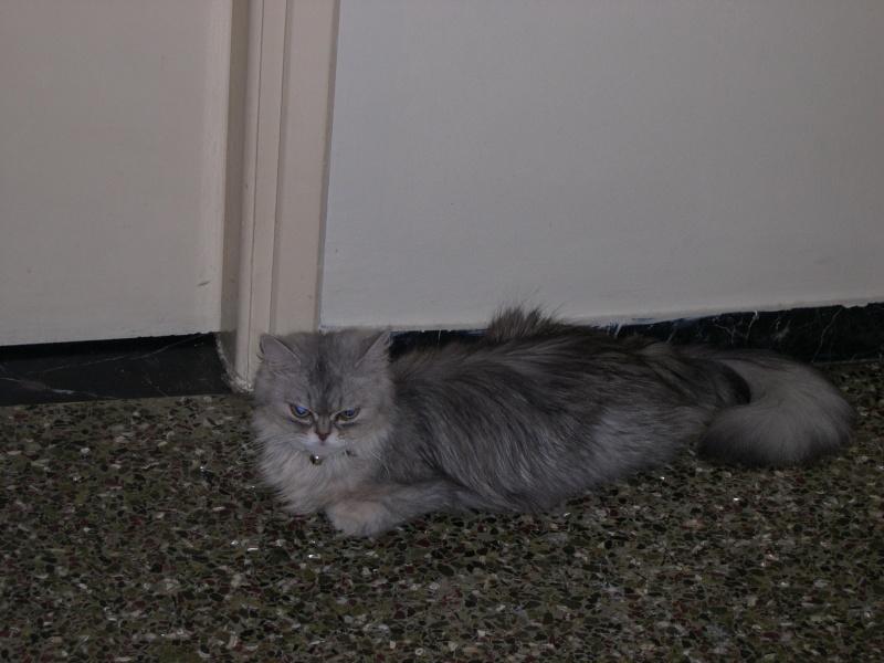 Χαρίζονται γάτες Περσίας Kalups10