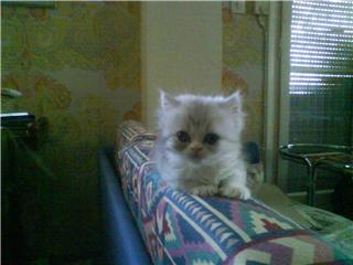 Χαρίζονται γάτες Περσίας Mpempa11