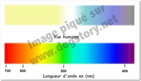 Les yeux du chien et sa vision 2011-011