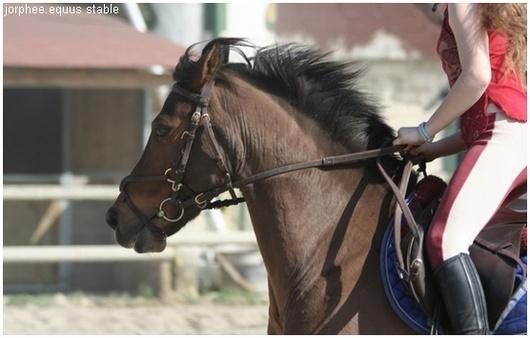 jorphee. ♀. poney français de selle. débutant. Jorphe10