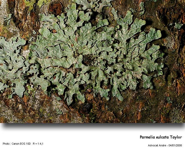 Parmelia sulcata Taylor Parmel10