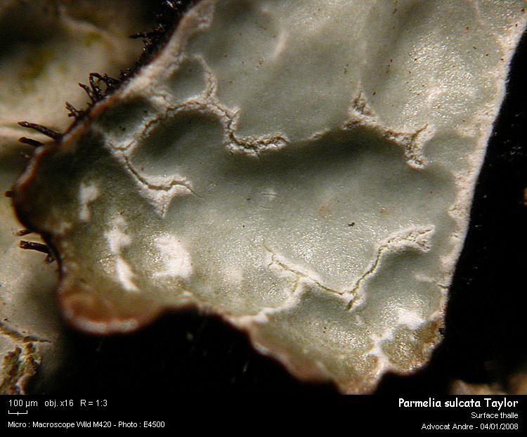 Parmelia sulcata Taylor Parmel12