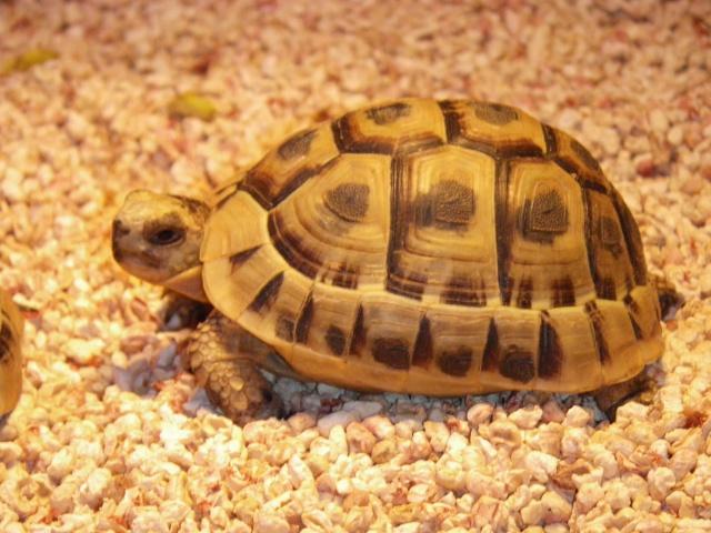 Identification tortue grecque mâle Imgp0510
