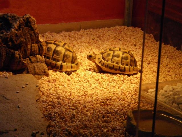Identification tortue grecque mâle Imgp0511