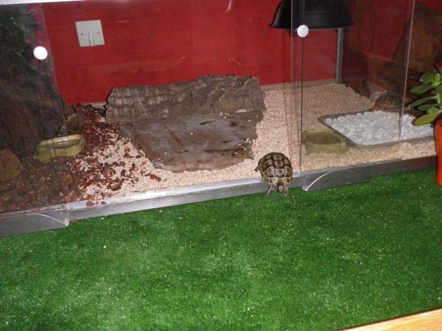 Identification tortue grecque mâle Imgp0516