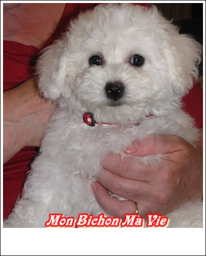 Album photos des bichons Pralin10
