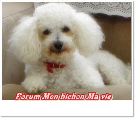 Album photos des bichons Ravel10