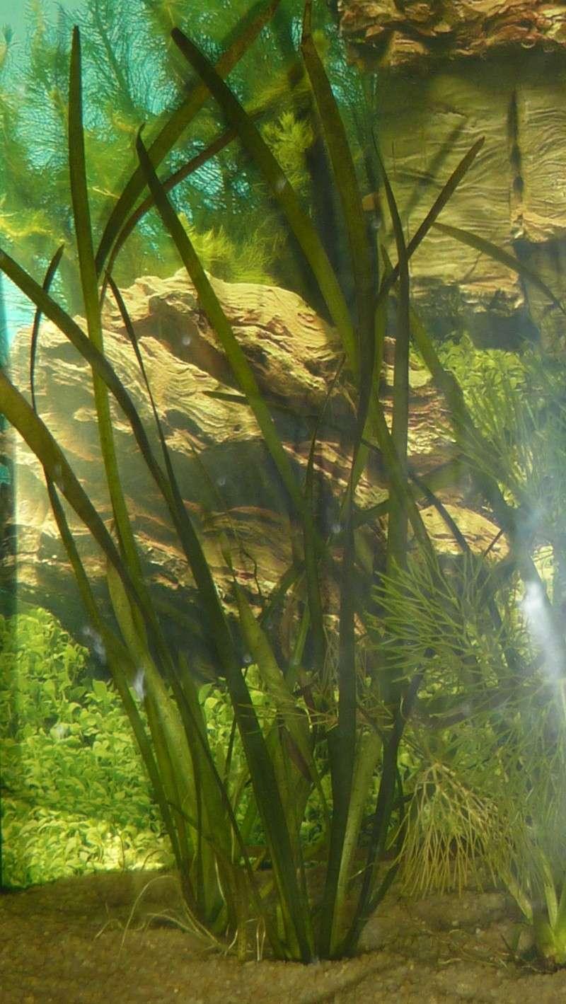 Aquarium 200 litres amazonien P1020414