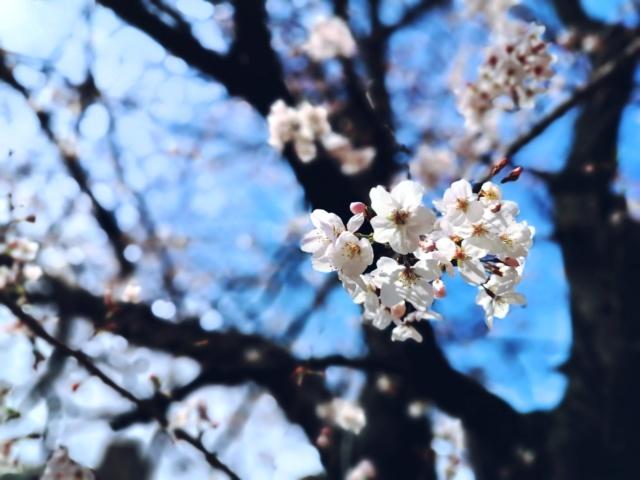 Les cerisiers en fleur ! Le Hanami. - Page 2 Img_2019