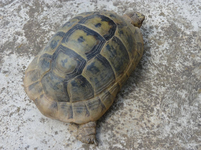 identification tortue P1050325