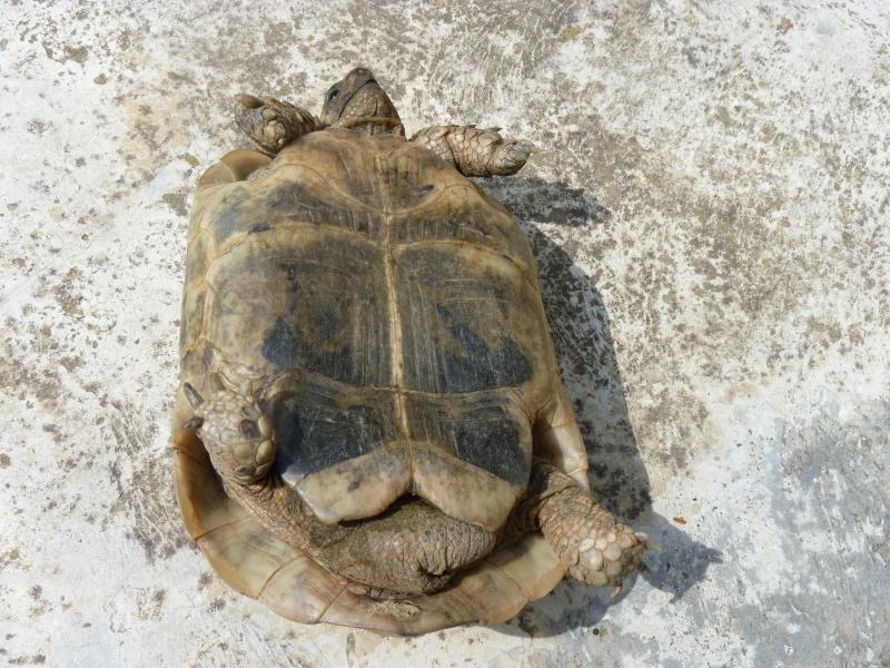 identification tortue P1050326