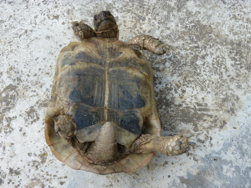 identification tortue P1050327