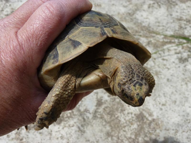 identification tortue P1050328