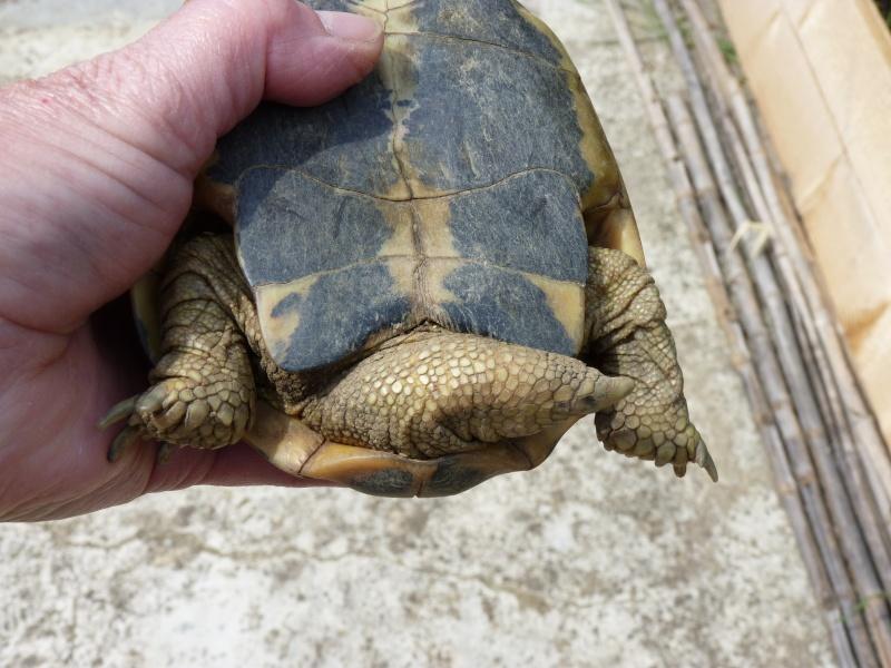 identification tortue P1050334