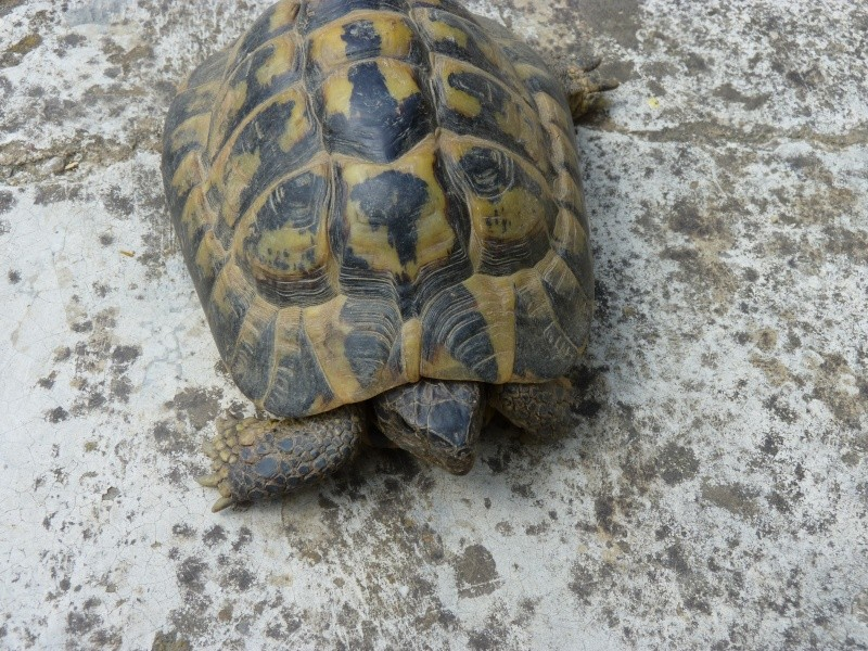 identification tortue P1050335