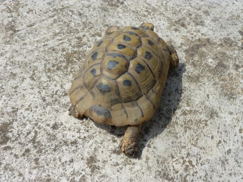 identification tortue P1050336