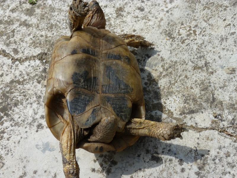 identification tortue P1050337