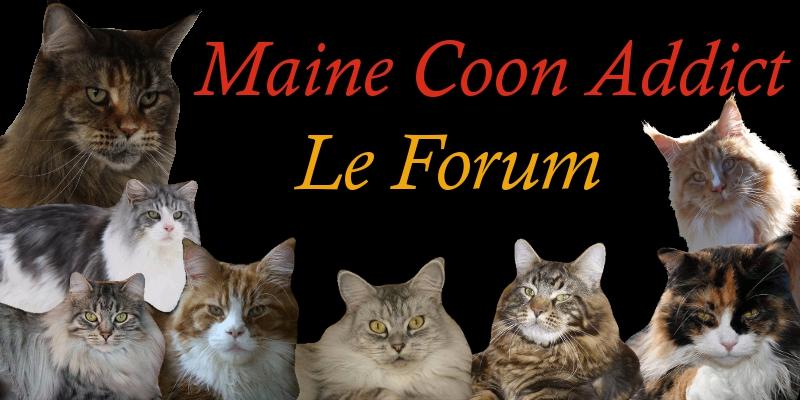 Maine Coon Addict