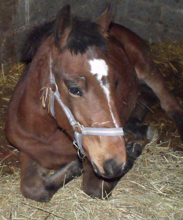 Nestor, hongre de deux ans, croisé quart trait et SBS (Adopté) 14887610
