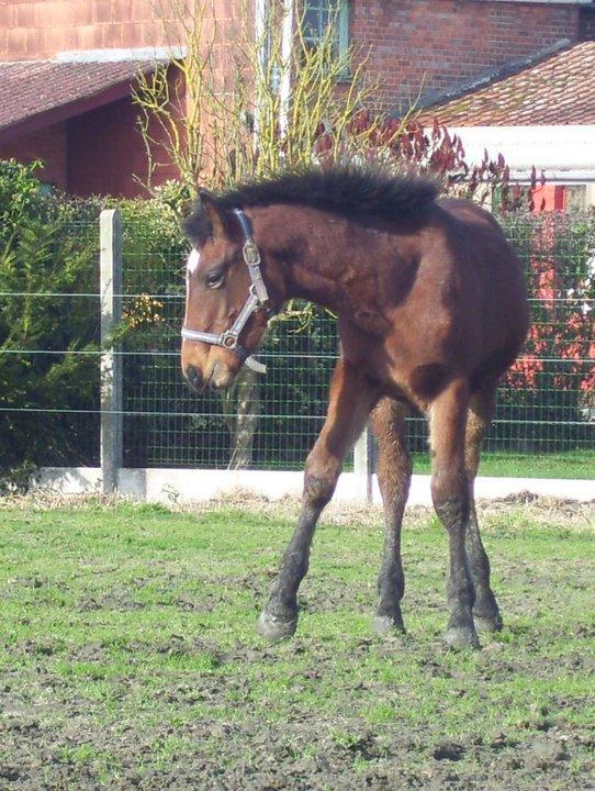 Nestor, hongre de deux ans, croisé quart trait et SBS (Adopté) 15461610