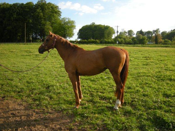 Roxanne, anglo-arabe (ADOPTEE) Charlo12