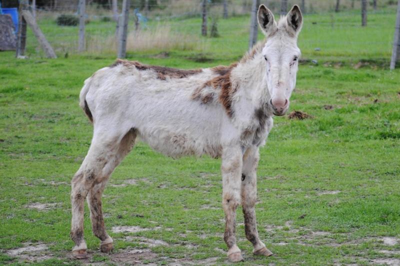 Anatole, âne pie, deux ans.(ADOPTE) Dsc_0110