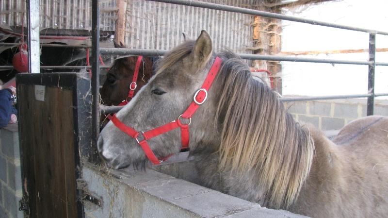 ASTER, poulain (croisé haflinger et poney d'1m40), adopté Img_6011