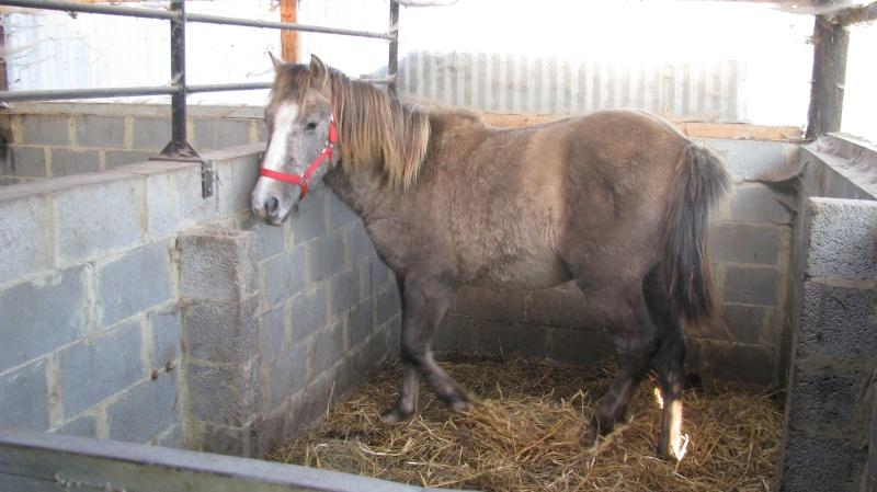 ASTER, poulain (croisé haflinger et poney d'1m40), adopté Img_6012