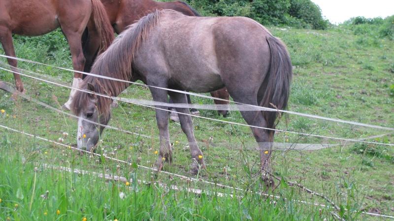 ASTER, poulain (croisé haflinger et poney d'1m40), adopté Img_6710