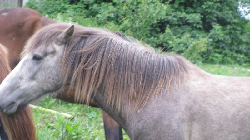 ASTER, poulain (croisé haflinger et poney d'1m40), adopté Img_6712