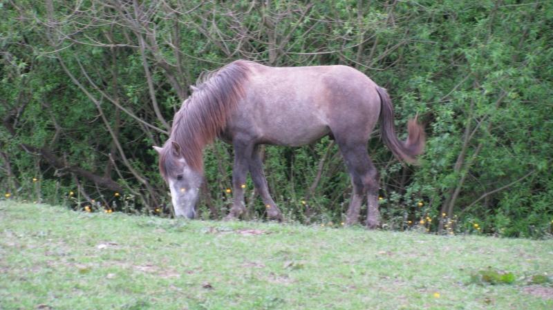 ASTER, poulain (croisé haflinger et poney d'1m40), adopté Img_6811