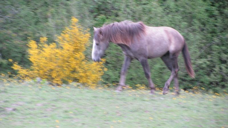 ASTER, poulain (croisé haflinger et poney d'1m40), adopté Img_6812