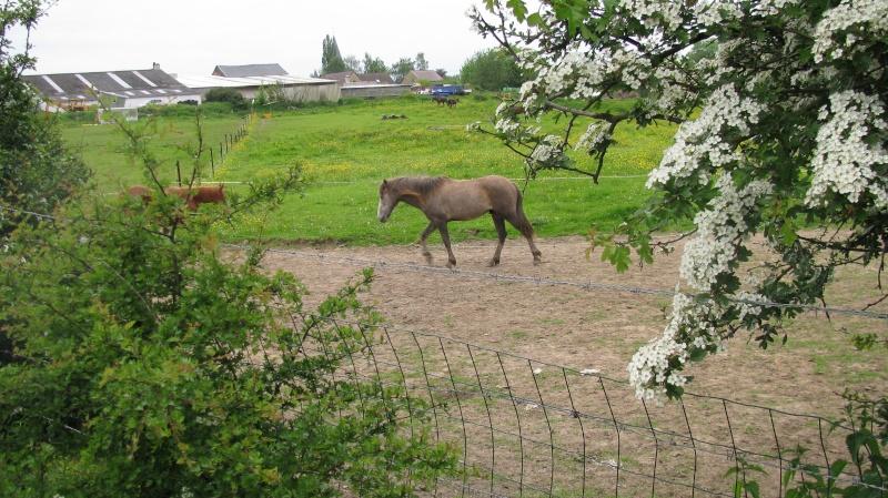 ASTER, poulain (croisé haflinger et poney d'1m40), adopté Img_6813