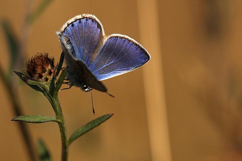 Azuré commun (Polyommatus icarus) _mg_3910