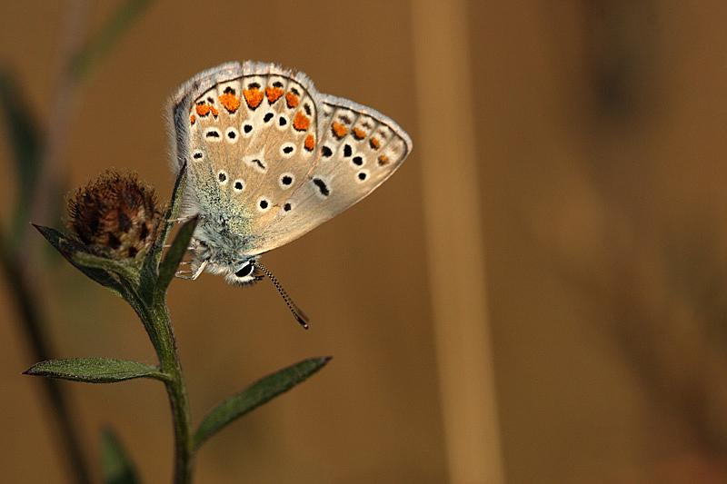 Azuré commun (Polyommatus icarus) _mg_3911